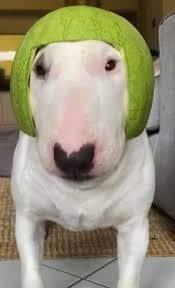 Walter the meme dog